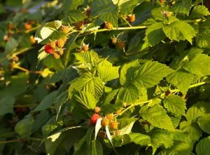 organic raspberries on the vine