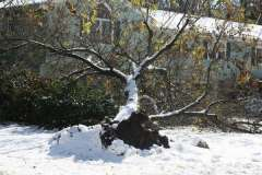 uprooted tree in snow storm