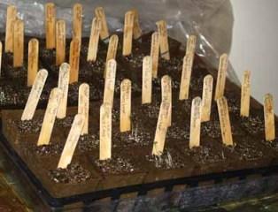seed starting, organic seedlings in peat pots