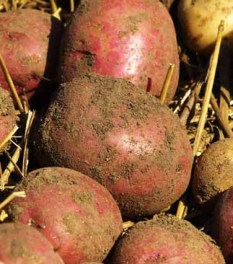 organic potato close up