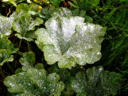 powdery mildew on pumpkin foliage