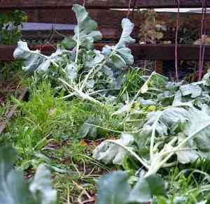 hurricane sandy damage bethlehem pa garden broccoli