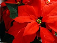 poinsettia toxic to dogs