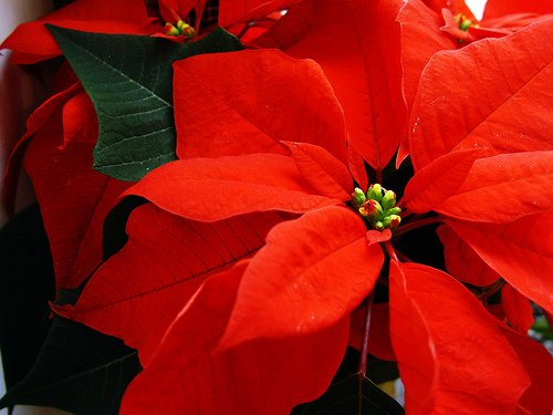 Are Holiday Poinsettias Harmful To Dogs And Cats ‹� Big
