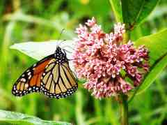 monarch butterfly feeds on milkweed