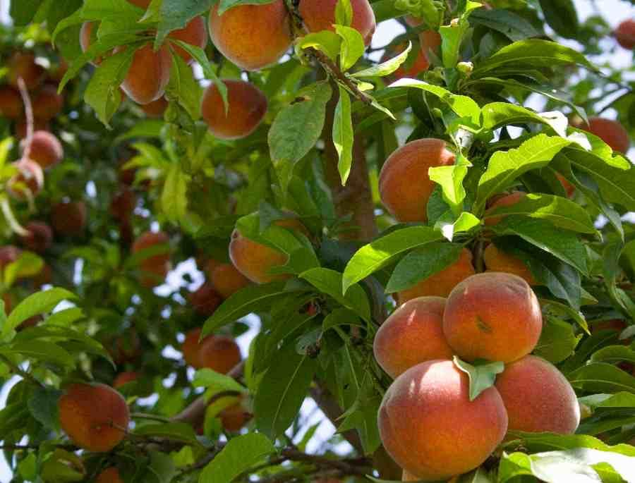 árboles frutales