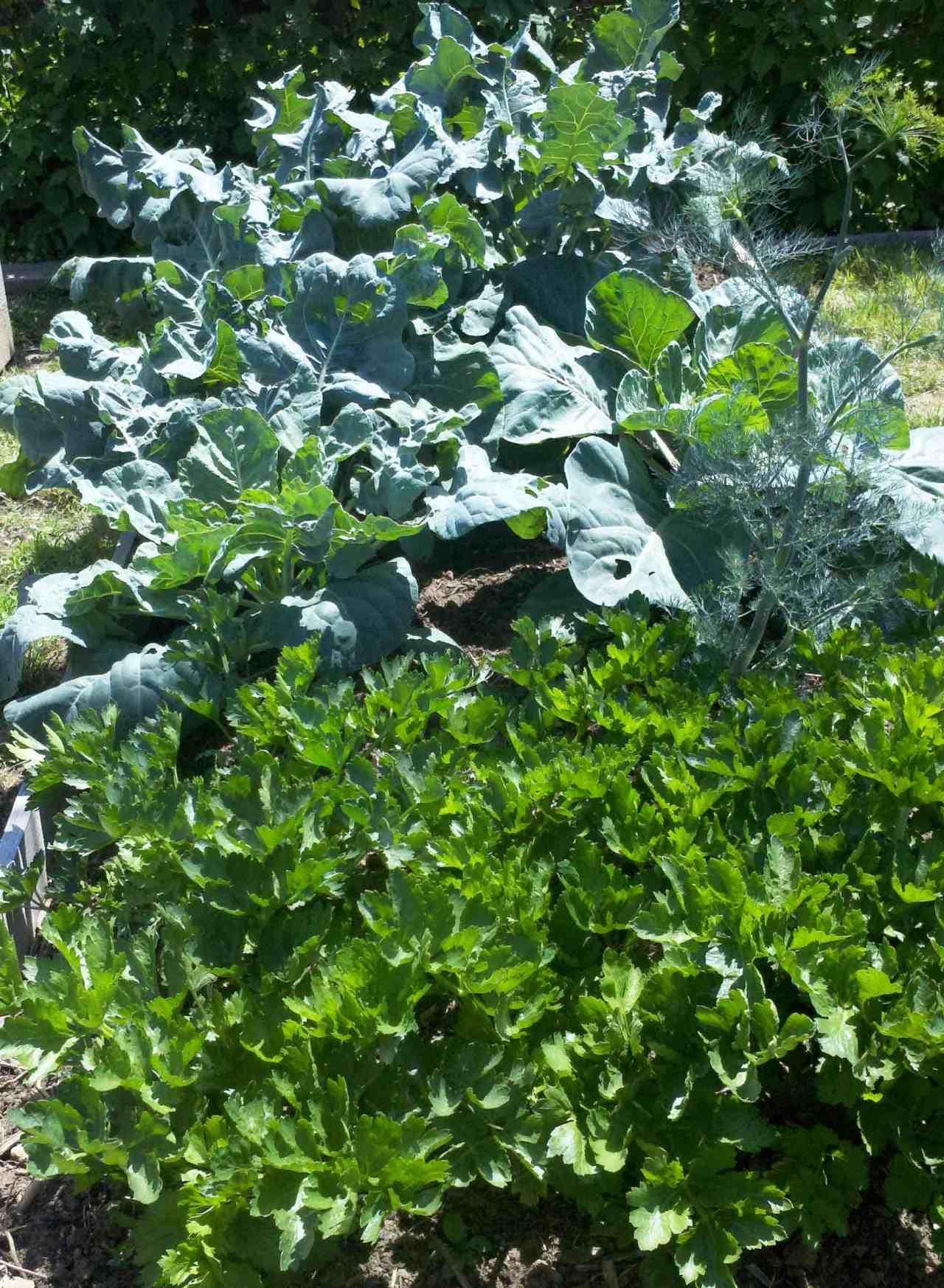 jardín de brócoli y apio
