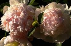 peony peonies flowers garden