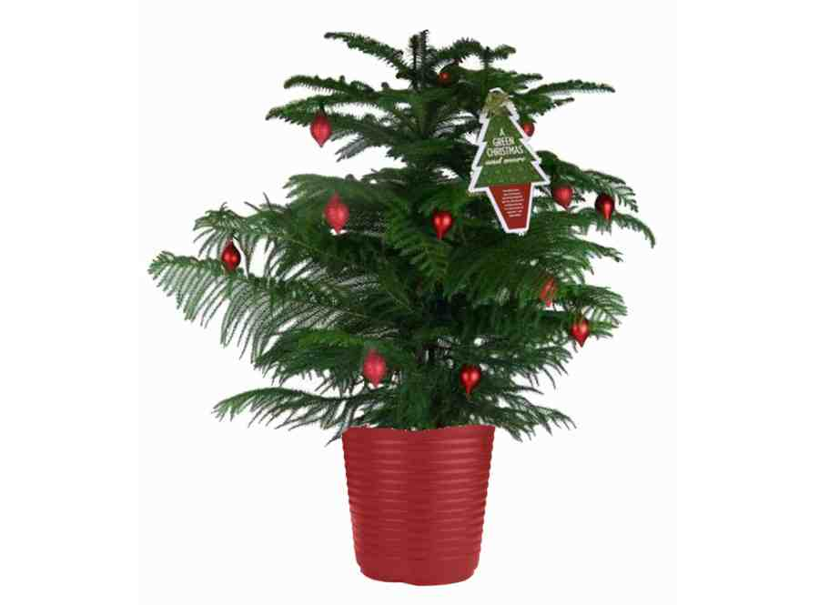 - How To Care For Your Potted Norfolk Pine Christmas Tree