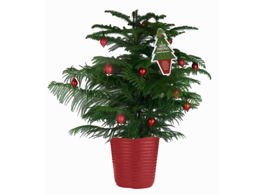 norfolk pine christmas tree - How To Care For Your Potted Norfolk Pine Christmas Tree