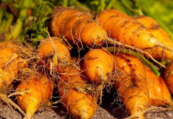 zanahorias de jardín