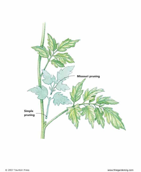 retoños de tomate de poda de missouri