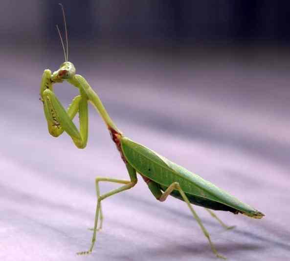 mantis insectos beneficiosos