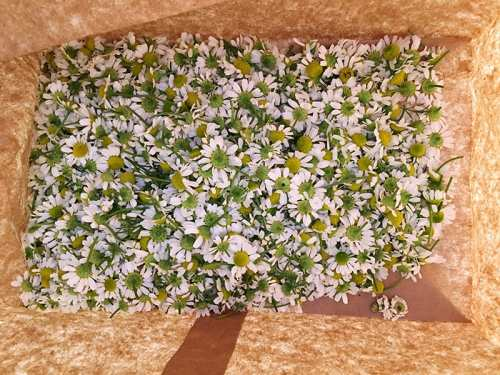 drying chamomile flowers