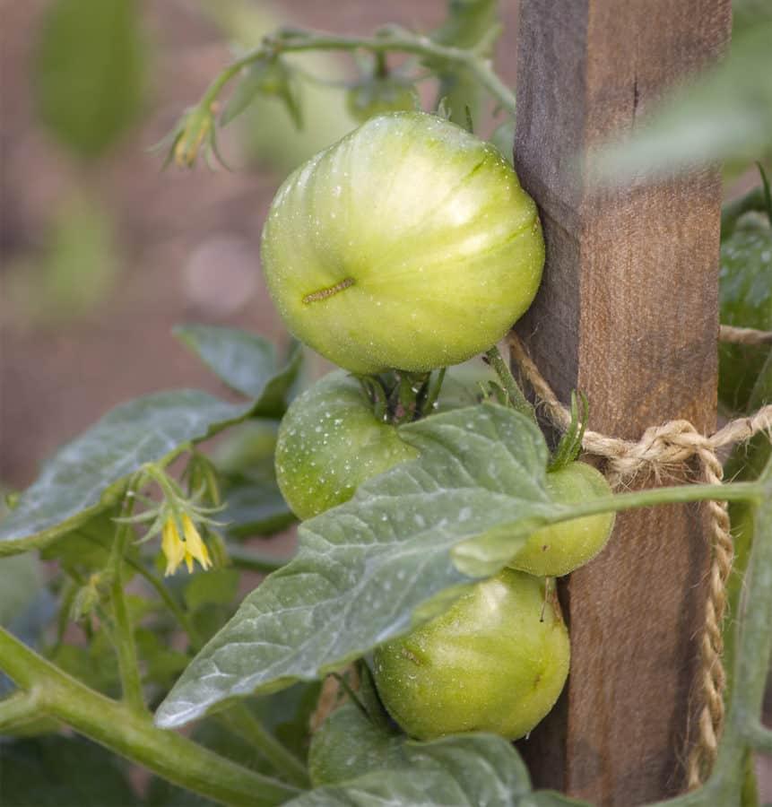 tomate ciruela