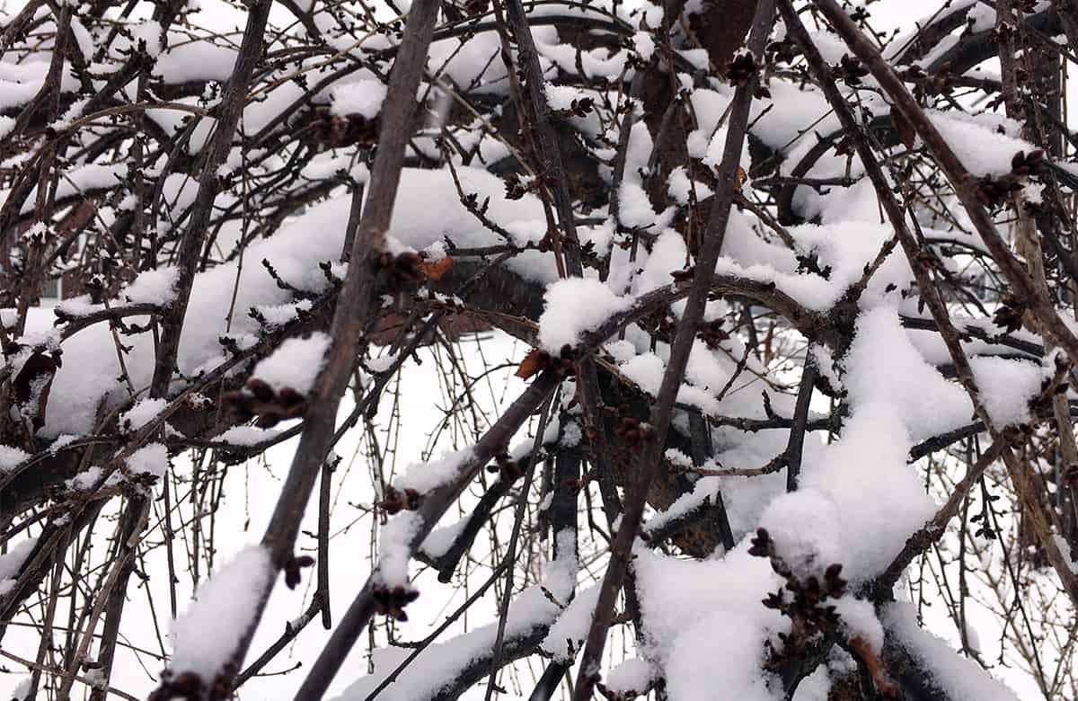 Invierno de cerezo llorando