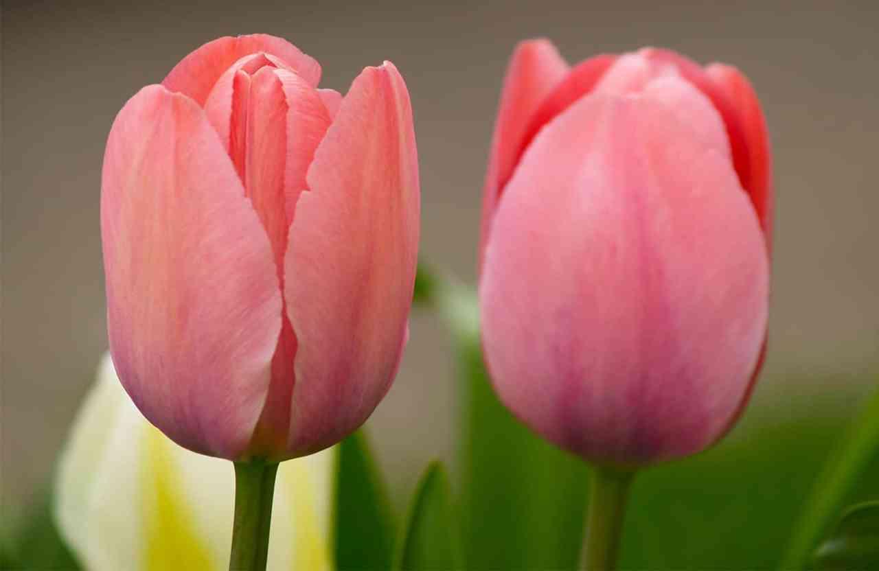 Cómo cultivar flores de primavera en contenedores, macetas y maceteros