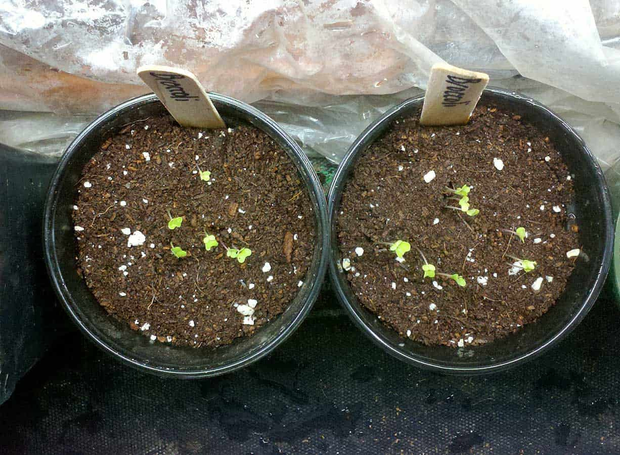 las plántulas de brócoli partieron de semillas