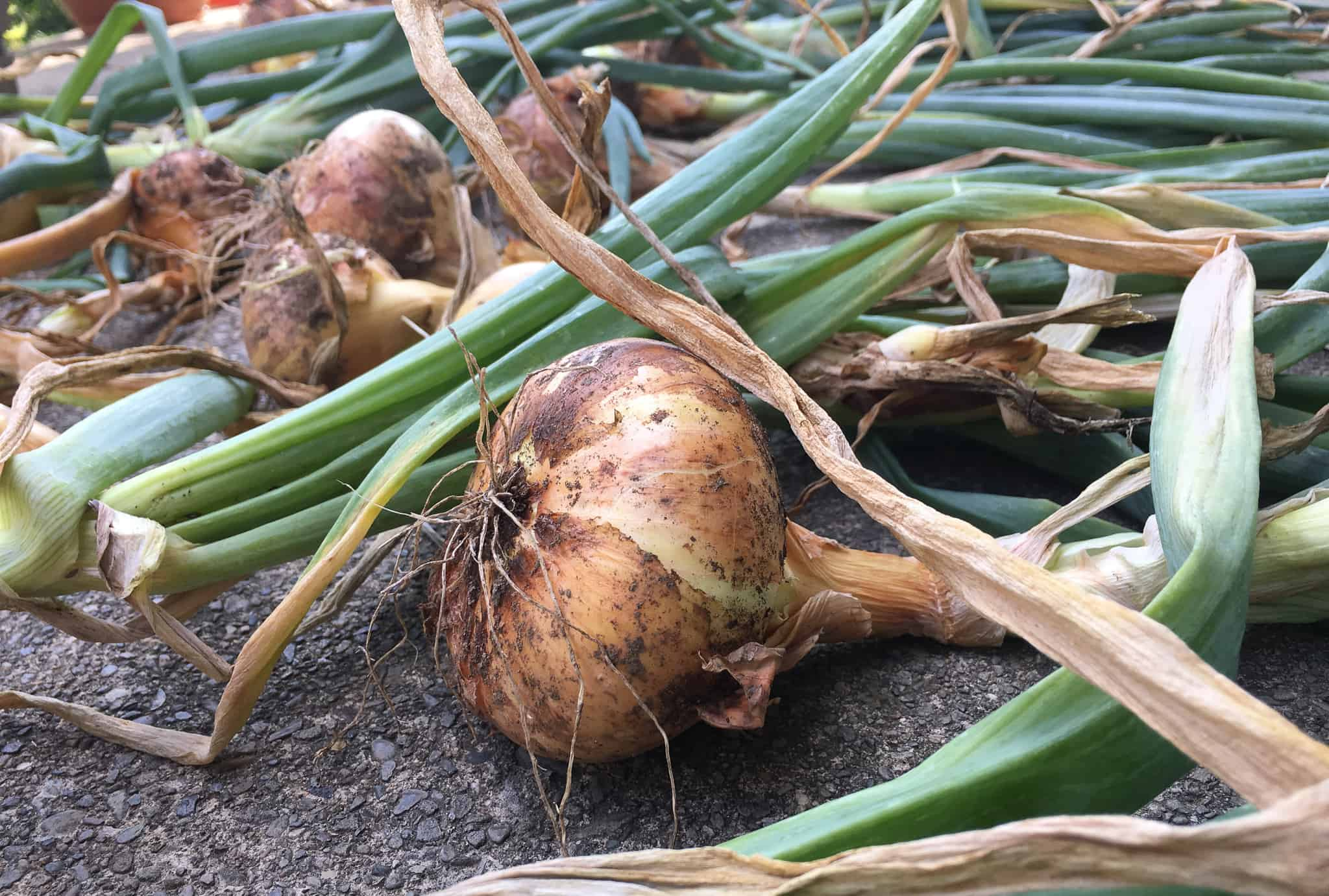 Onion Growing Guide Which Types Are Best Big Blog Of Gardening