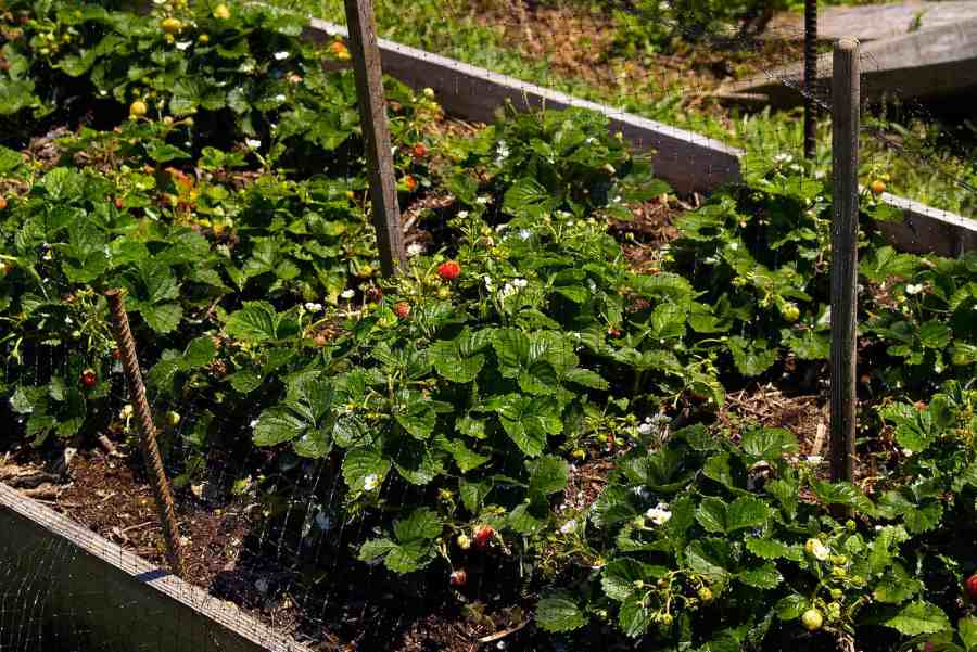strawberry patch protected by bird netting