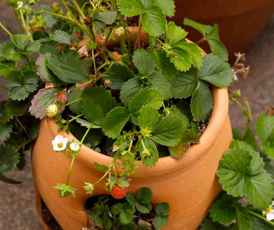 strawberries grown in containers