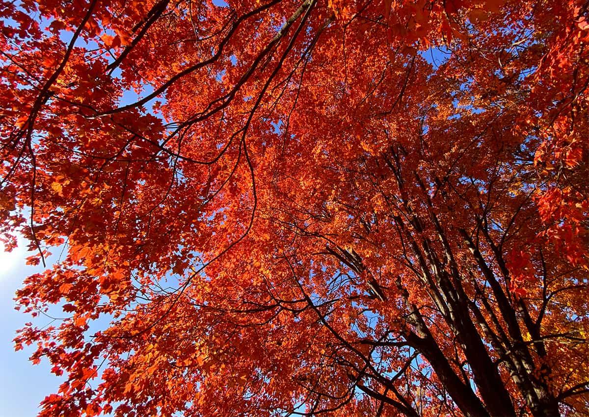 follaje de arce rojo