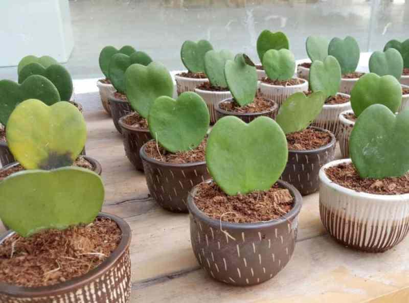 hoya hearts succulent
