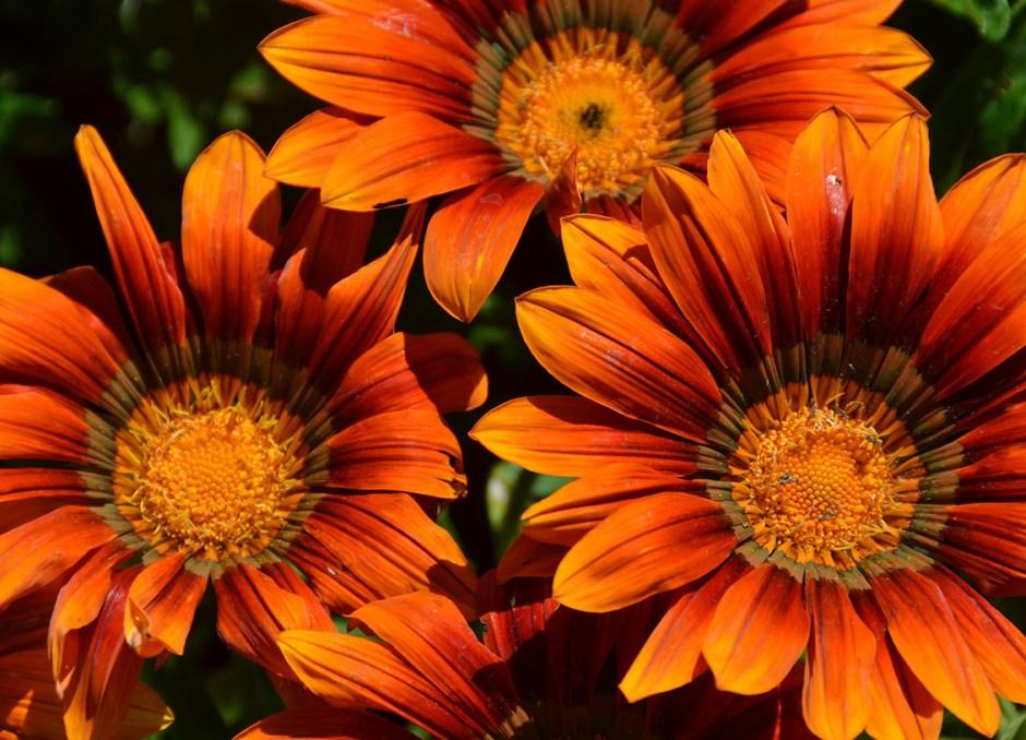 home garden gerbera daisies
