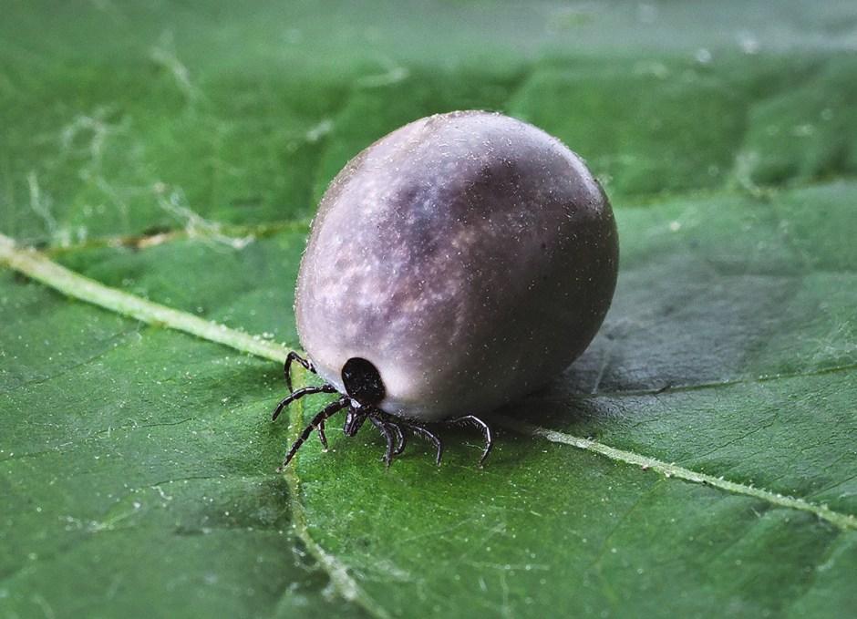 Lyme Disease tick on leaf