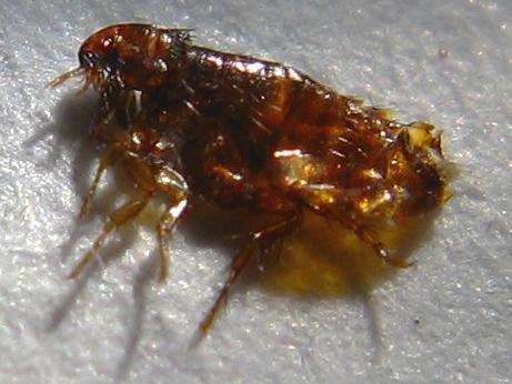 fleas close up
