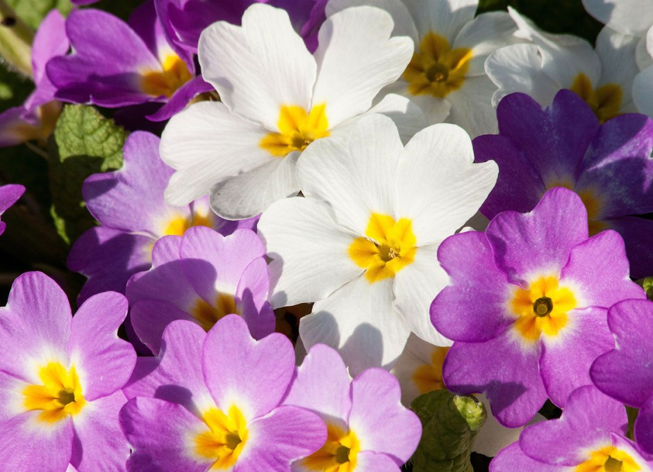 Bedding Plants primrose