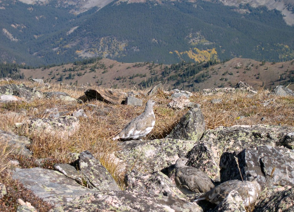 Ptarmigan with mt backdrop