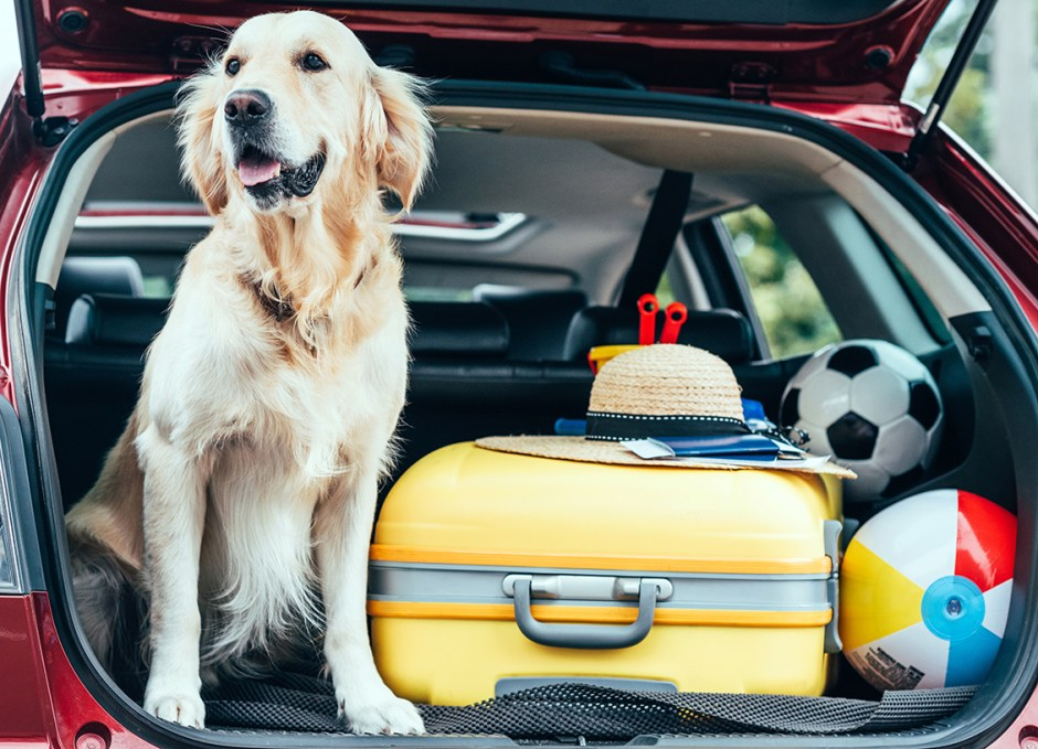 Travelling With Pets dog in back of car