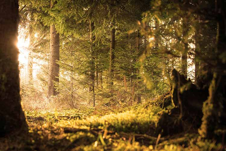 woodland scene with trees, grass and sun shining through