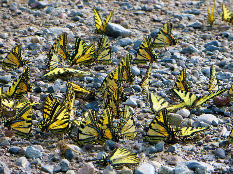 swallow tail butterflies puddling