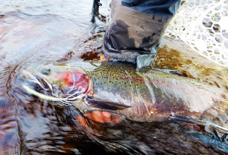 Lake Superior Steelhead