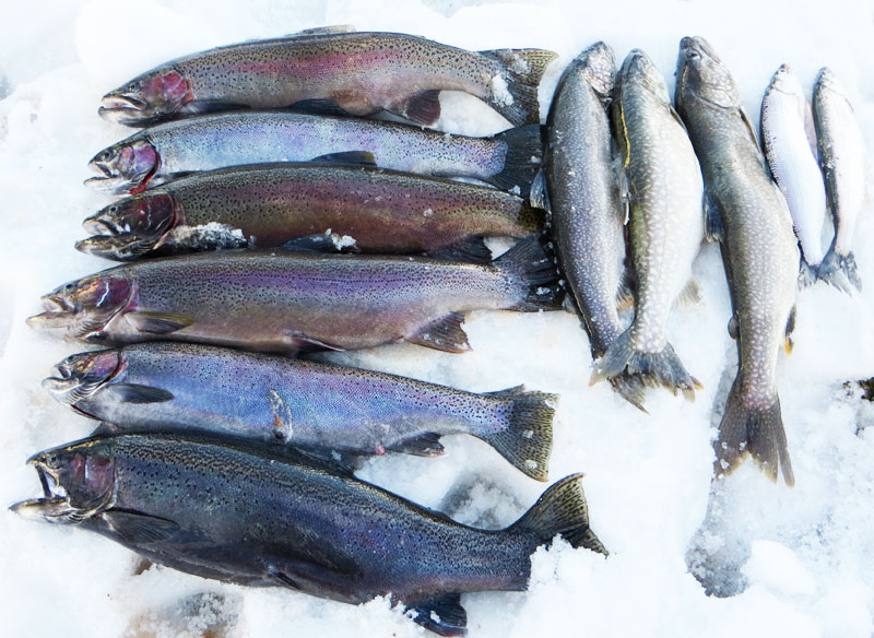 Lake Superior Rainbow Trout Herring Lake Trout