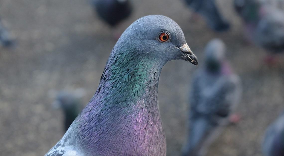 Pigeons-que-faut-il-savoir