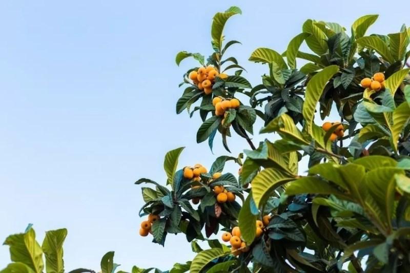 albero-loquat