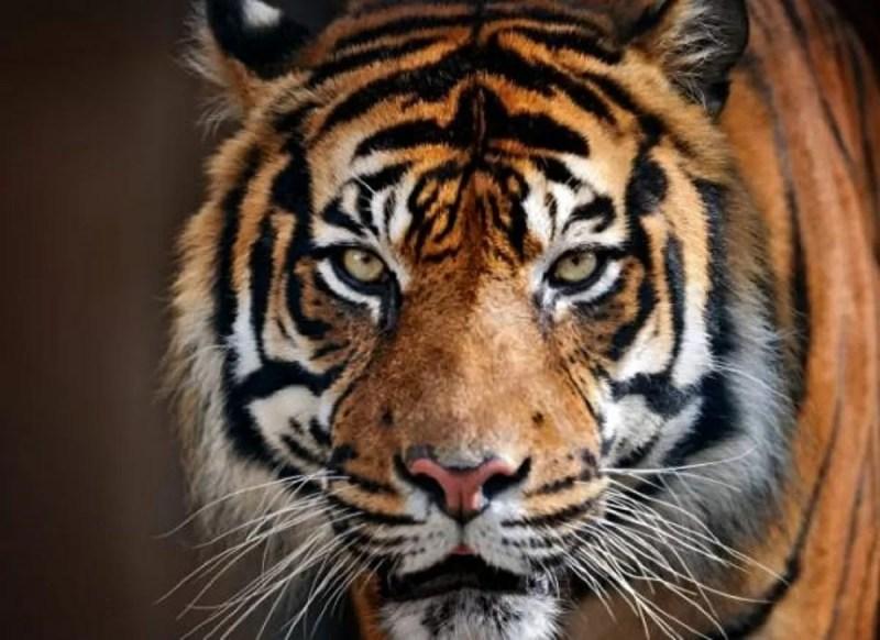 tigre animale