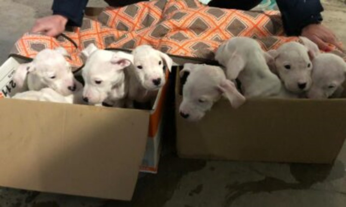 8 puppies of dogo abandoned in a garbage bag