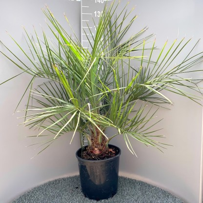 Butia odorata 20 litre plant at Big Plant Nursery