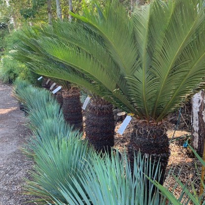Cycads and young Yucca rostrata at Big Nursery