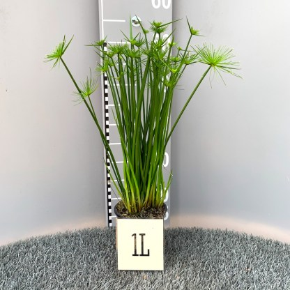 Cyperus haspan 1 litre plant at Big Plant Nursery