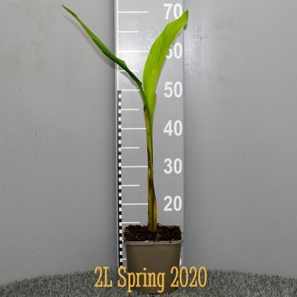 Musa basjoo 2 litre plant