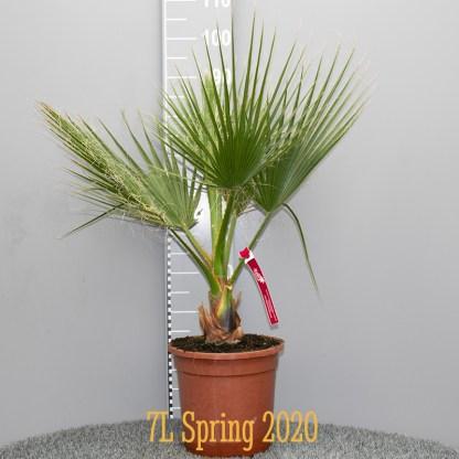 Washingtonia robusta 7 litre plant