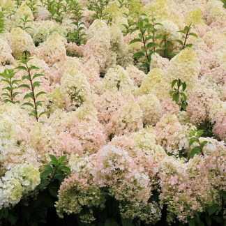 Choice Shrubs