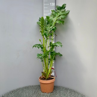 Acanthus mollis 7 litre plant