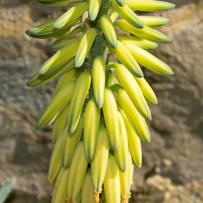 Aloe vera flower close up
