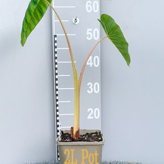 Colocasia 'Pink China' 2 litre plant